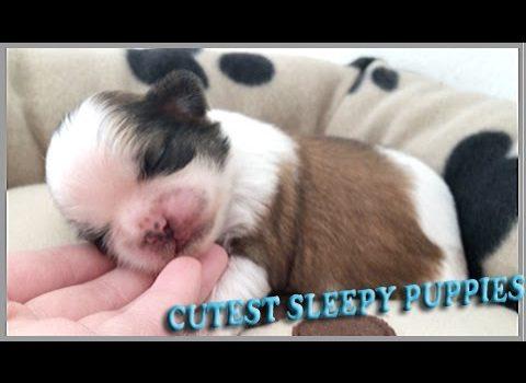 video of 2 weeks old Shih Tzu puppies