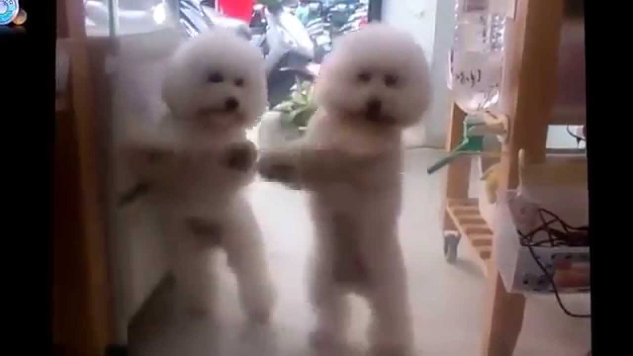 video of Bichon Frise dancing to favorite song
