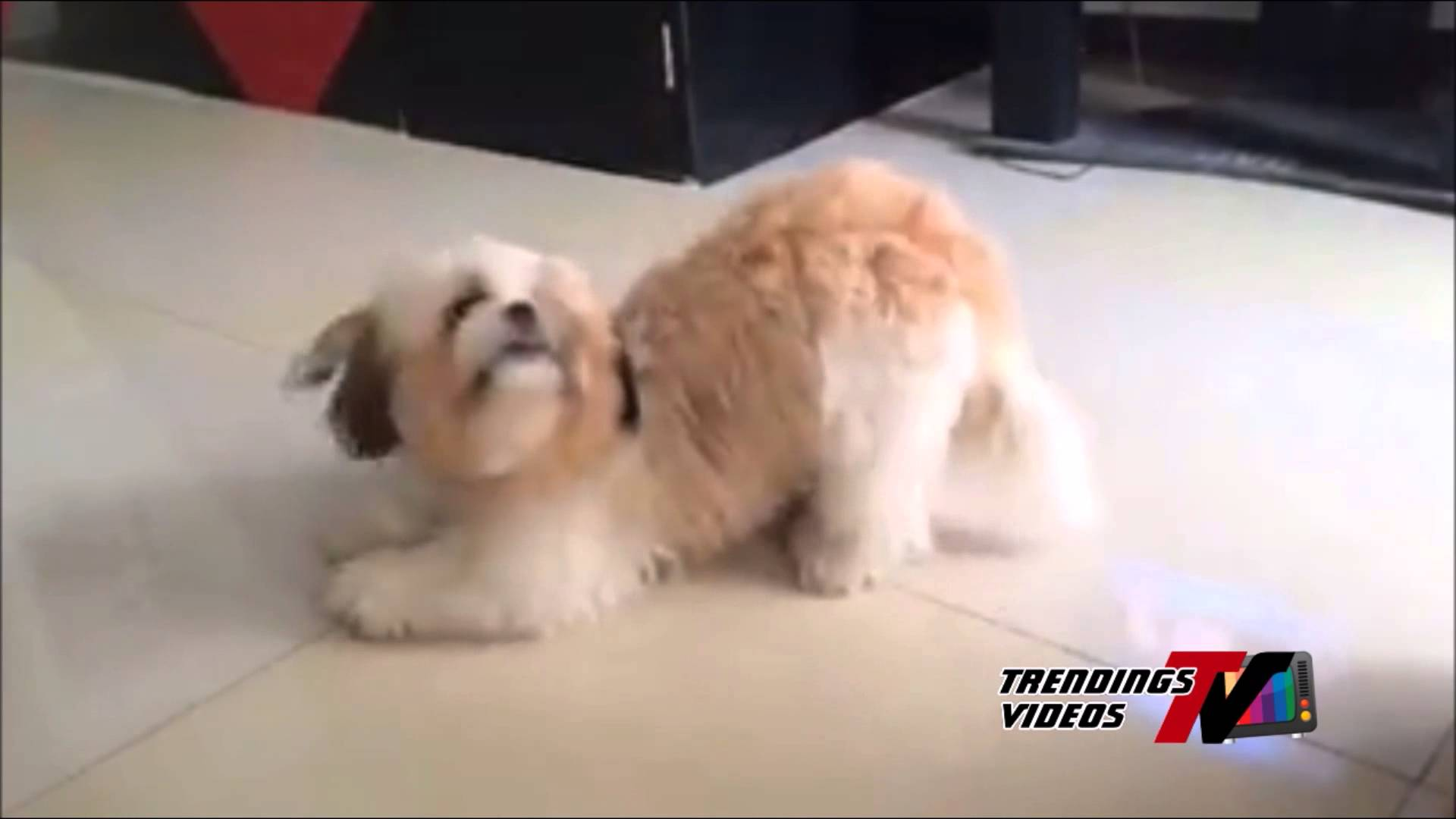 video of funny Shih Tzu