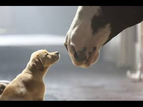 video Budweiser commercial puppy loves horse friend