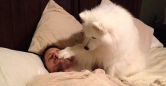 video of Samoyed Lexi waking up Dad