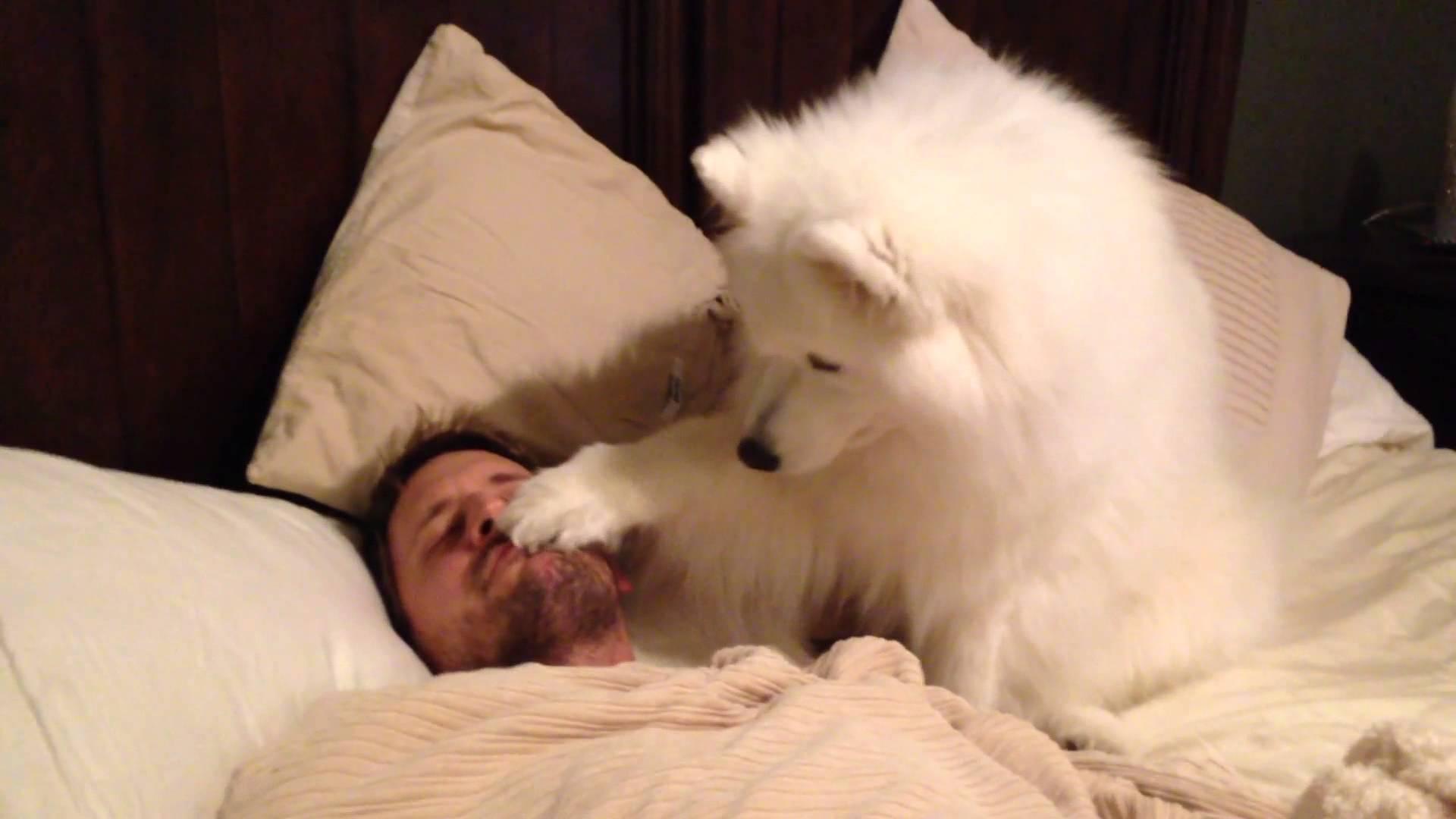 video of Samoyed Lexi waking up Dad