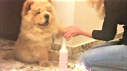 Chow Chow Bebeto likes to be cleaned