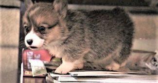 video of Corgi puppy rushes to help brother