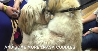Lhasa Apso Diesel in his first year