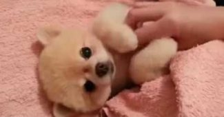 puppy wants belly rub to keep going