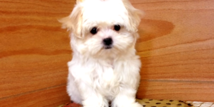 video of a Malshi puppy