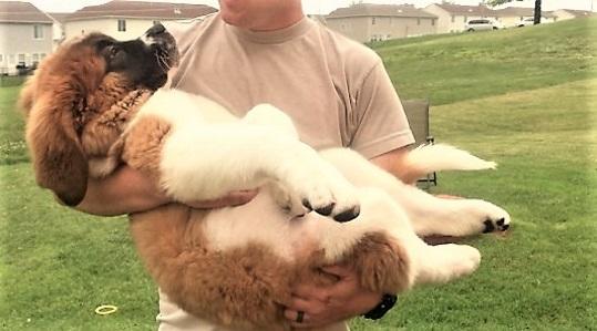 video 12 weeks old saint bernard puppy