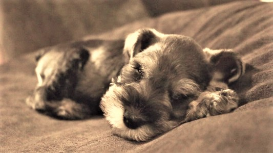 miniature Schnauzer puppy snoring video