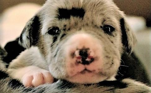 video Great Dane puppies