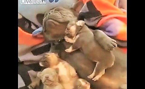 video tired dog napping with puppies