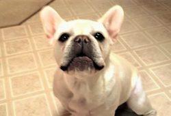 video French Bulldog speaking