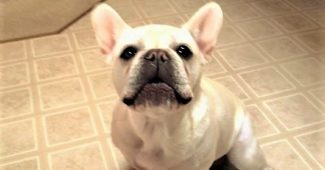 video French Bulldog speaking