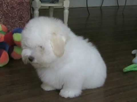 Coton de Tulear puppy playing by himself