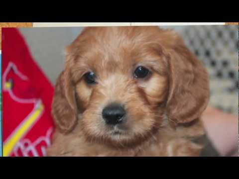 Family choosing a Goldendoodle puppy