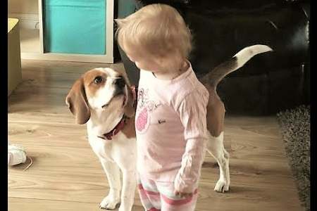 video Beagle Charlie friends with little girl