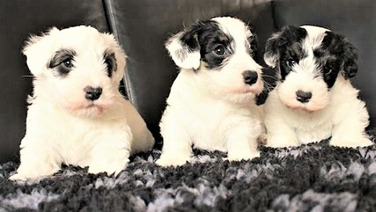 video sealyham terrier puppies playing