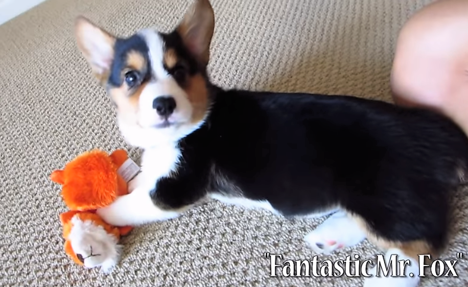 video Corgi playing with his many toys