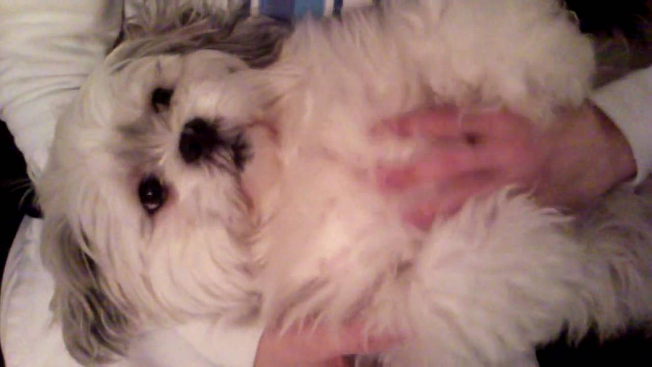 video of Lhasa Apso getting belly rub