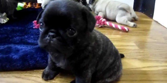 video of Pug puppies trying to walk on wood floor