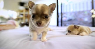video of miniature Chihuahua puppies