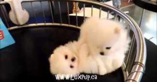 video of tiny Pomeranian puppies playing
