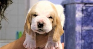 video of Basset Hound puppies