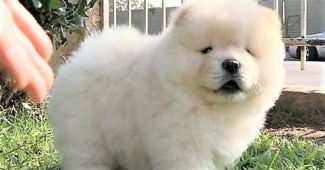 video Chow Chow puppy camera shy