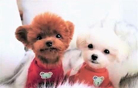 Teddy bear dog Shu