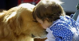 video of Golden Retrievers being wonderful nannies