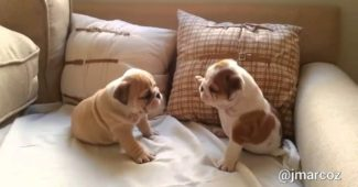 English Bulldog puppies playfighting