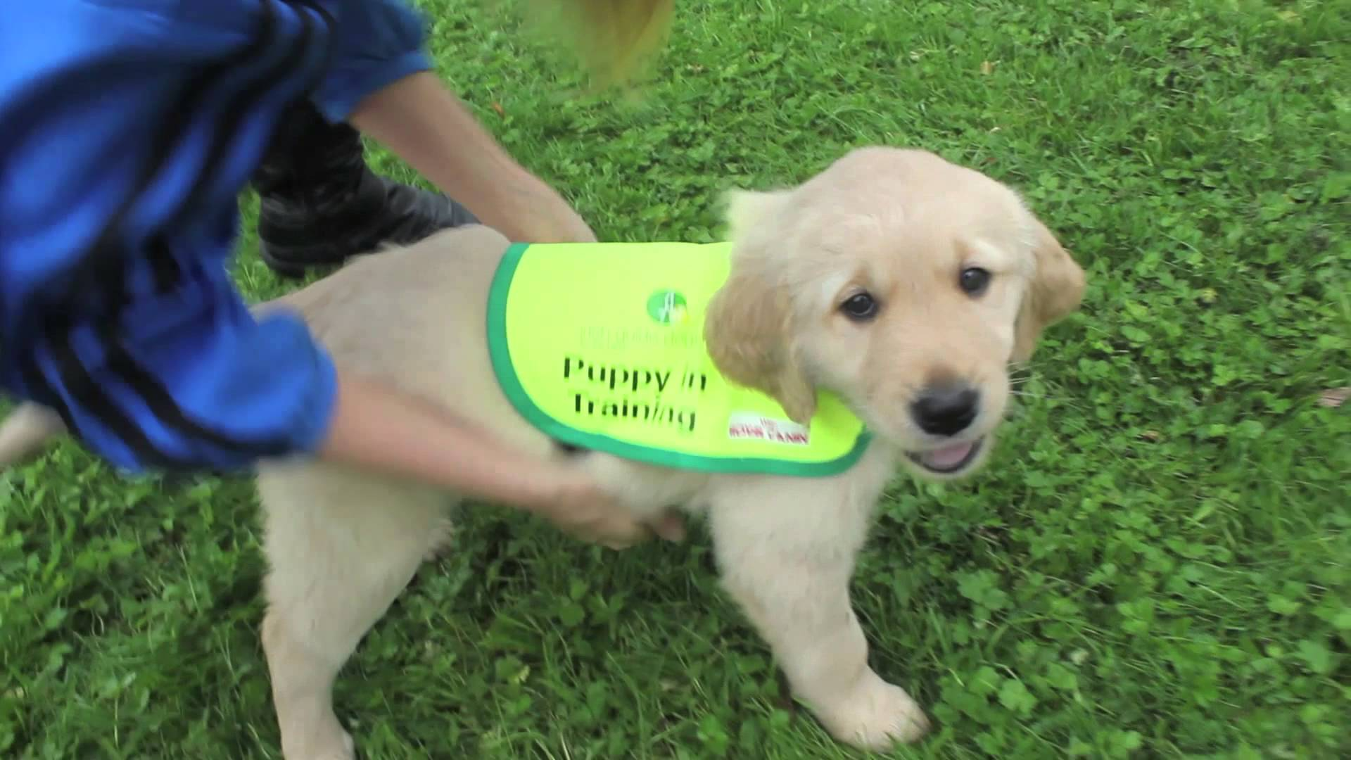 Training a guide dog puppy