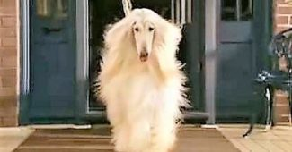 video Afghan dog in a cute commercial