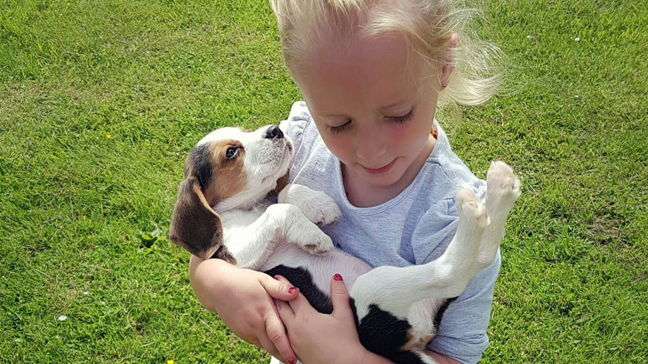 video of Beagle puppy coming home