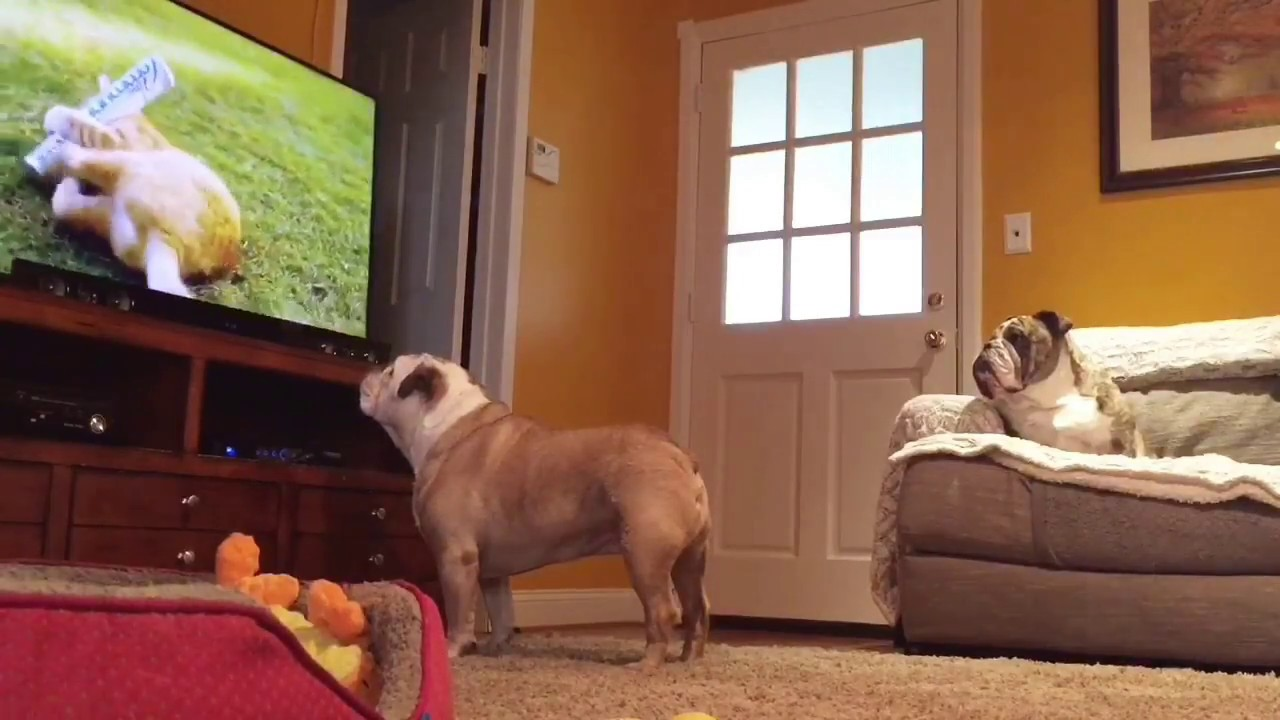 What these 2 Bulldogs do when nobody is home