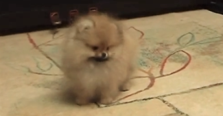 video of Pomeranian puppy being trained