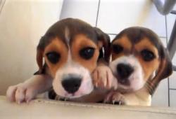video Beagle puppies