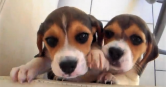 video Beagle puppies