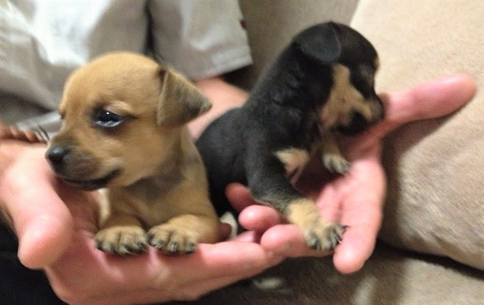 video Chihuahua puppies