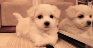 video Maltipoo puppy first week home
