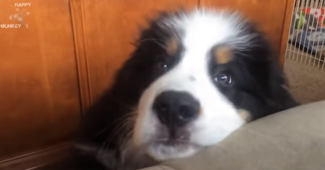 video Bernese mountain puppies
