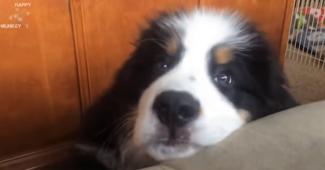 video Bernese mountain puppies