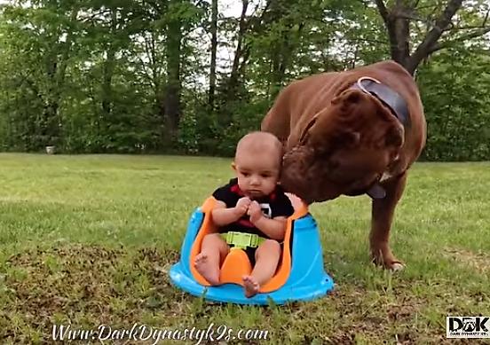 VIDEO] Hulk The PitBull Babysitting Humans And Puppies