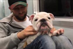 video of a Bulldog puppy getting massaged