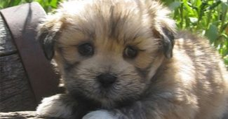video Lhasa Apso puppies