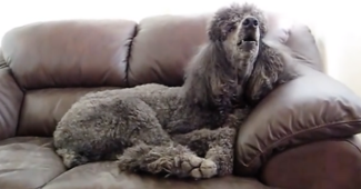 video Poodle singing to Andrea Bocelli song
