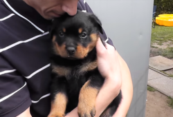 video of Rottweiler puppy