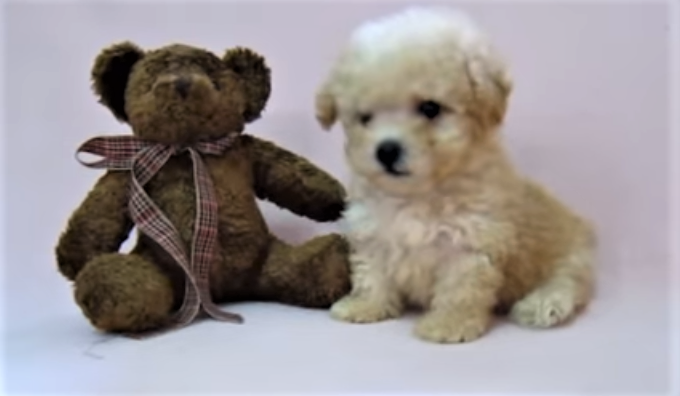 video Toy Poodle puppy learns to shake hands