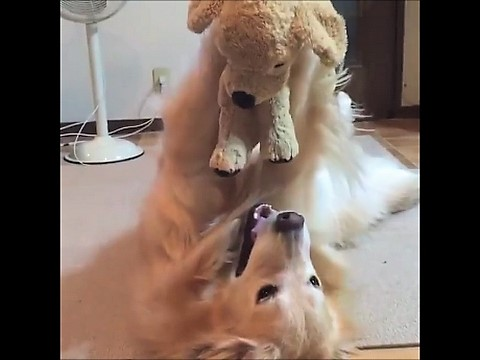video playful Golden Retrievers