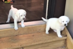 video English Labrador puppies learning to use the stairs